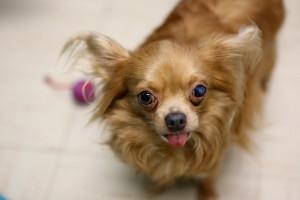DYK-Chihuahua