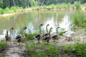 DYK-Geese