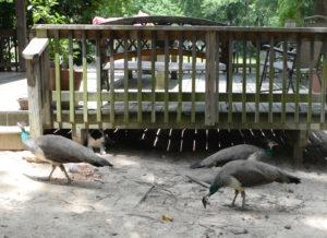 DYK-Peacocks