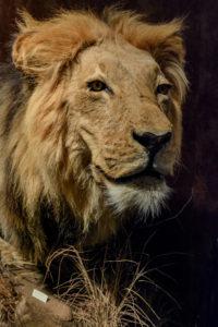 JustFun-Lion