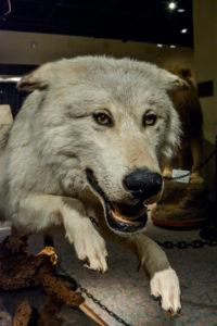 JustFun-Wolf