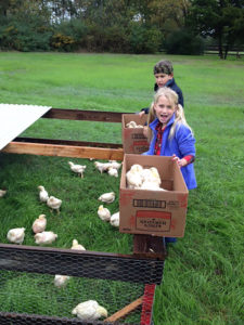 Alisa's children Jack (10) and Cate (9) transfer broilers from the brooder to the chicken tractor